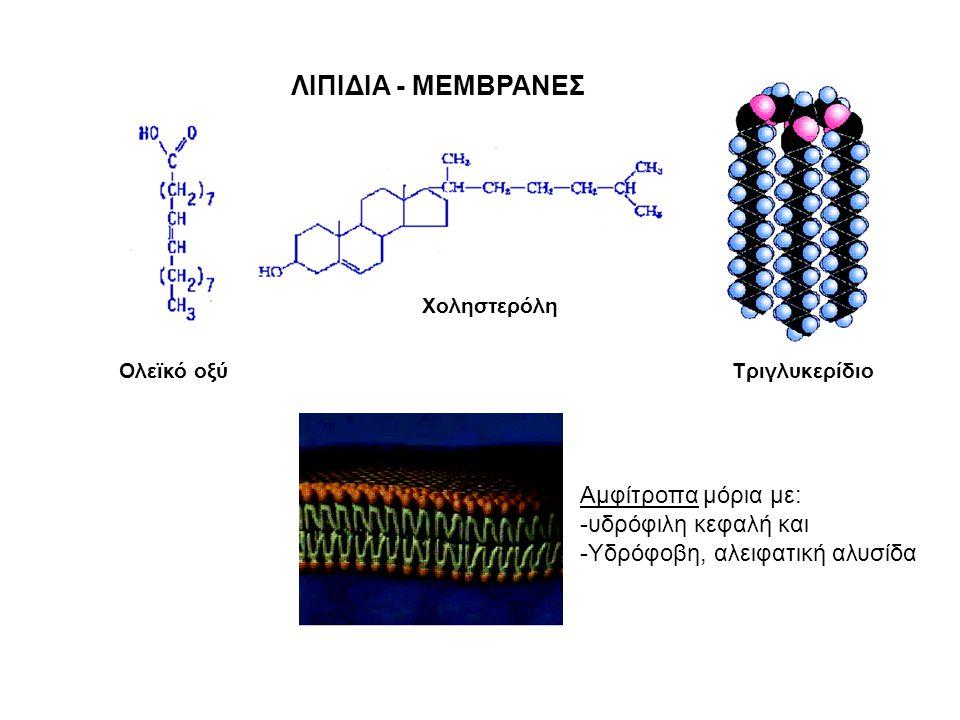ΛΙΠΙΔΙΑ - ΜΕΜΒΡΑΝΕΣ Ολεϊκό οξύ Χοληστερόλη Τριγλυκερίδιο Αμφίτροπα μόρια με: -υδρόφιλη κεφαλή και -Υδρόφοβη, αλειφατική αλυσίδα