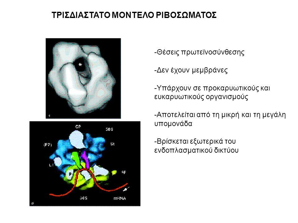 ΤΡΙΣΔΙΑΣΤΑΤΟ ΜΟΝΤΕΛΟ ΡΙΒΟΣΩΜΑΤΟΣ -Θέσεις πρωτεϊνοσύνθεσης -Δεν έχουν μεμβράνες -Υπάρχουν σε προκαρυωτικούς και ευκαρυωτικούς οργανισμούς -Αποτελείται