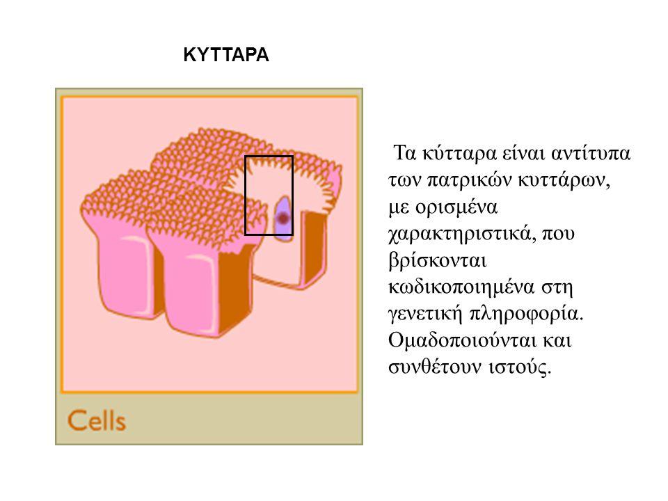 Τα κύτταρα είναι αντίτυπα των πατρικών κυττάρων, με ορισμένα χαρακτηριστικά, που βρίσκονται κωδικοποιημένα στη γενετική πληροφορία. Ομαδοποιούνται και