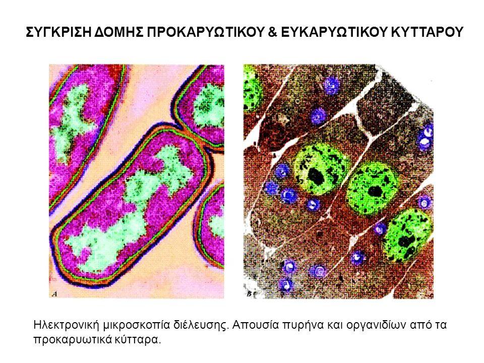 ΣΥΓΚΡΙΣΗ ΔΟΜΗΣ ΠΡΟΚΑΡΥΩΤΙΚΟΥ & ΕΥΚΑΡΥΩΤΙΚΟΥ ΚΥΤΤΑΡΟΥ Ηλεκτρονική μικροσκοπία διέλευσης. Απουσία πυρήνα και οργανιδίων από τα προκαρυωτικά κύτταρα.