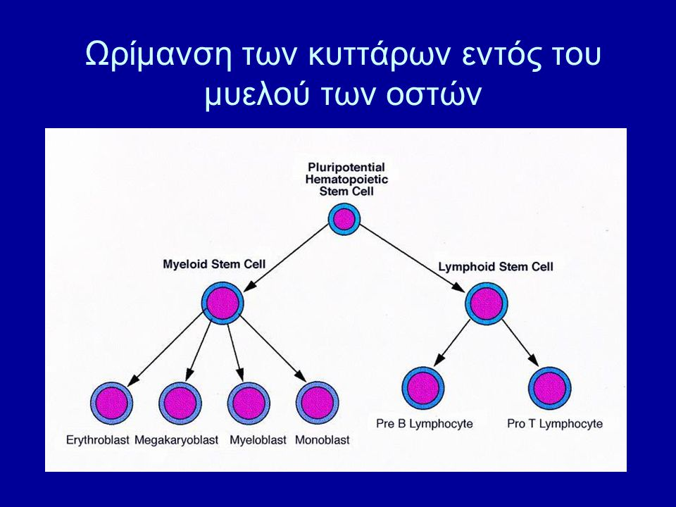 Μυελός των οστών Στο χειρουργείο Υπό γενική αναισθησία Πολλαπλές παρακεντήσεις από τις λαγόνιες άκανθες άμφω Συλλογή 1-2 L μυελού Πόνος Μετάγγιση αίματος Μεγάλη εμπειρία Ευνοϊκότερη έκβαση στην απλαστική αναιμία/ΧΜΛ Είδη Μεταμόσχευσης – Ανάλογα με την Πηγή του Μοσχεύματος