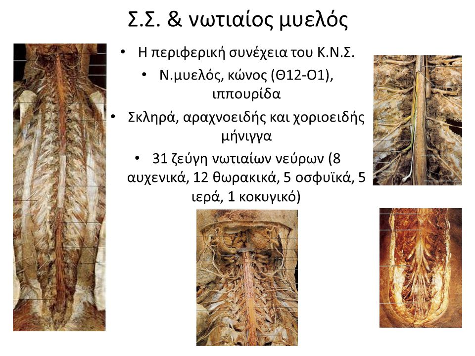 Σ.Σ. & νωτιαίος μυελός Η περιφερική συνέχεια του Κ.Ν.Σ. Ν.μυελός, κώνος (Θ12-Ο1), ιππουρίδα Σκληρά, αραχνοειδής και χοριοειδής μήνιγγα 31 ζεύγη νωτιαί