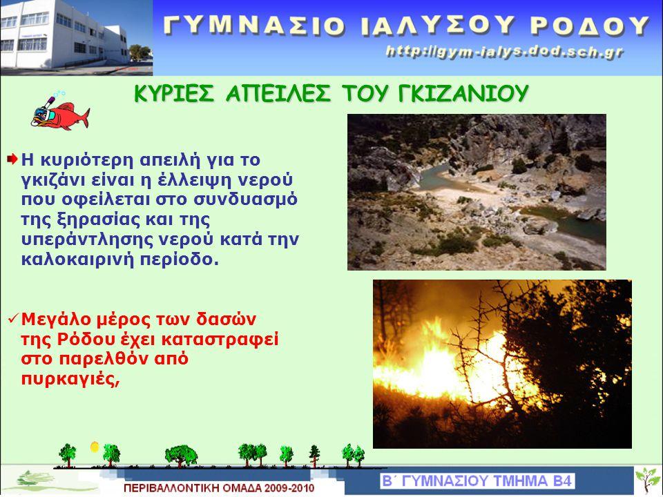 Κ Υ ΡΙΕΣ ΑΠΕΙΛΕΣ ΤΟΥ ΓΚΙΖΑΝΙΟΥ Η κυριότερη απειλή για το γκιζάνι είναι η έλλειψη νερού που οφείλεται στο συνδυασμό της ξηρασίας και της υπεράντλησης νερού κατά την καλοκαιρινή περίοδο.