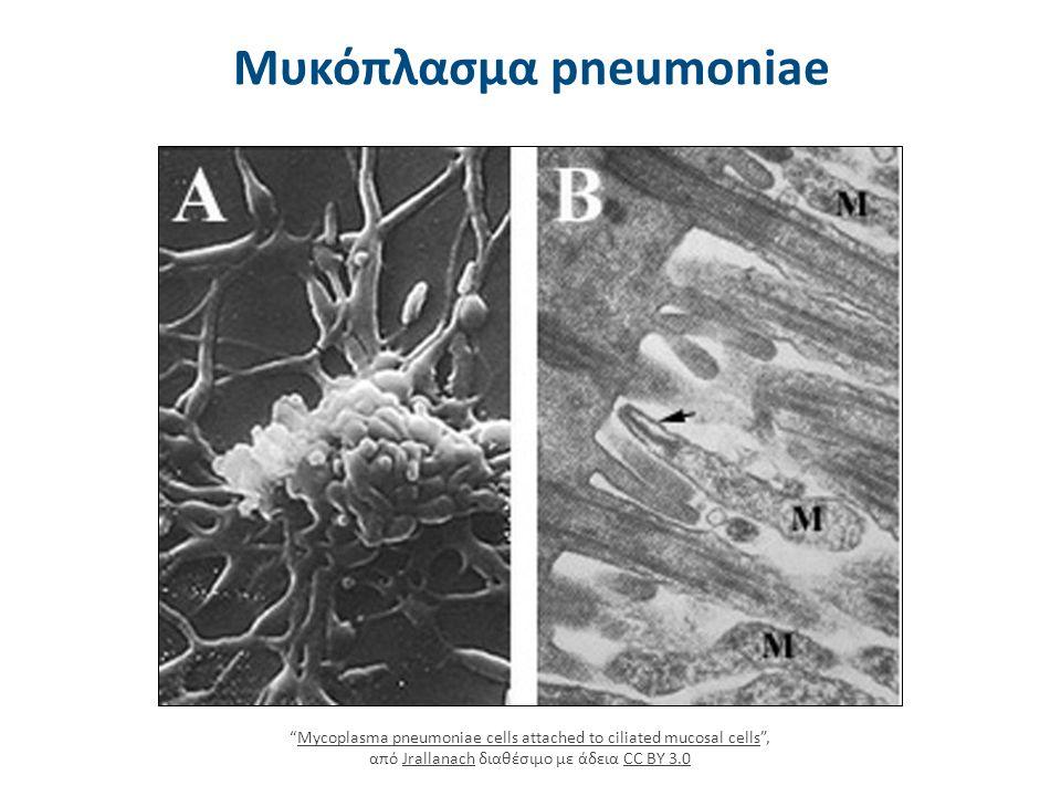 """Μυκόπλασμα pneumoniae """"Mycoplasma pneumoniae cells attached to ciliated mucosal cells"""", από Jrallanach διαθέσιμο με άδεια CC BY 3.0Mycoplasma pneumoni"""