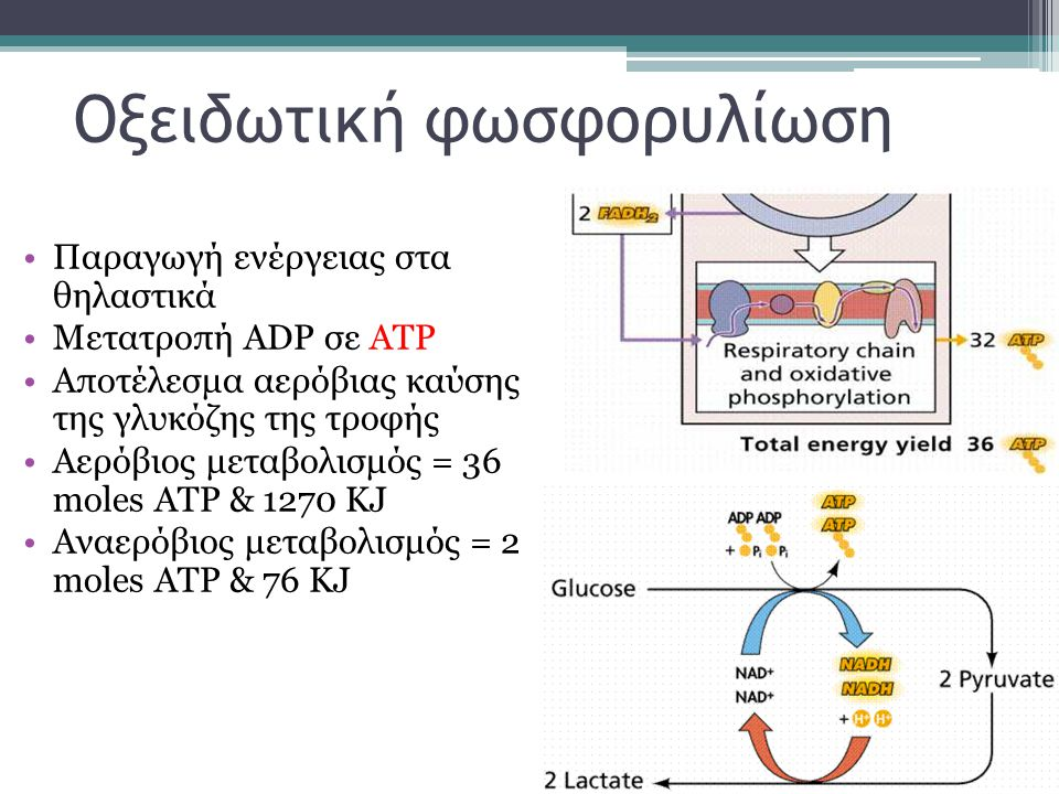 Οξειδωτική φωσφορυλίωση Παραγωγή ενέργειας στα θηλαστικά Μετατροπή ADP σε ΑΤΡ Αποτέλεσμα αερόβιας καύσης της γλυκόζης της τροφής Αερόβιος μεταβολισμός