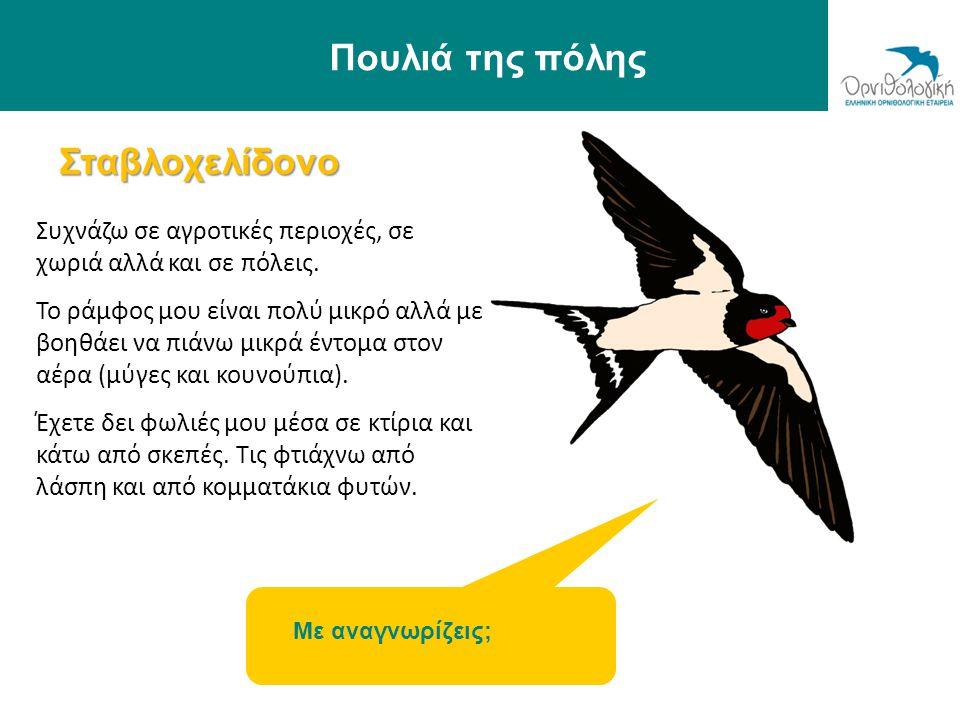 Σταβλοχελίδονο Πουλιά της πόλης Συχνάζω σε αγροτικές περιοχές, σε χωριά αλλά και σε πόλεις. Το ράμφος μου είναι πολύ μικρό αλλά με βοηθάει να πιάνω μι