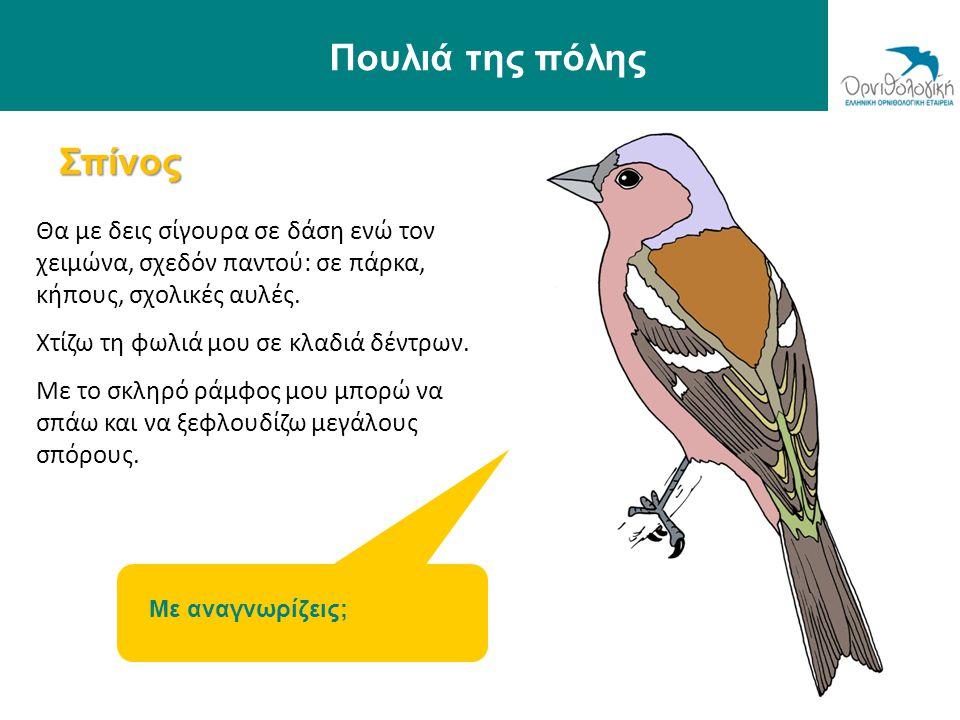 Σπίνος Πουλιά της πόλης Θα με δεις σίγουρα σε δάση ενώ τον χειμώνα, σχεδόν παντού: σε πάρκα, κήπους, σχολικές αυλές. Χτίζω τη φωλιά μου σε κλαδιά δέντ