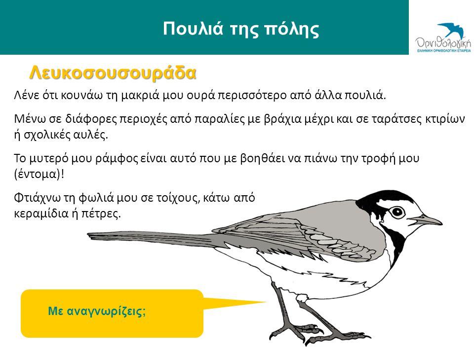 Λευκοσουσουράδα Πουλιά της πόλης Λένε ότι κουνάω τη μακριά μου ουρά περισσότερο από άλλα πουλιά. Μένω σε διάφορες περιοχές από παραλίες με βράχια μέχρ