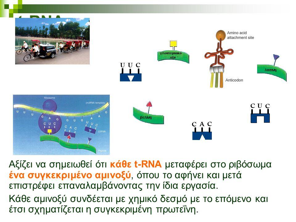 t-RNA Αξίζει να σημειωθεί ότι κάθε t-RNA μεταφέρει στο ριβόσωμα ένα συγκεκριμένο αμινοξύ, όπου το αφήνει και μετά επιστρέφει επαναλαμβάνοντας την ίδια