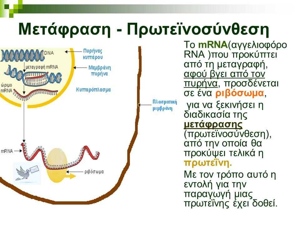 Μετάφραση - Πρωτεϊνοσύνθεση Το mRNA(αγγελιοφόρο RNA )που προκύπτει από τη μεταγραφή, αφού βγει από τον πυρήνα, προσδένεται σε ένα ριβόσωμα, για να ξεκ