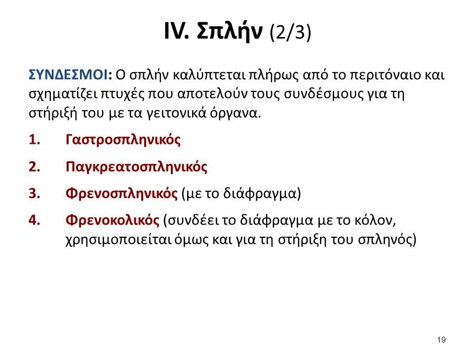 IV. Σπλήν (2/3) ΣΥΝΔΕΣΜΟΙ: Ο σπλήν καλύπτεται πλήρως από το περιτόναιο και σχηματίζει πτυχές που αποτελούν τους συνδέσμους για τη στήριξή του με τα γε
