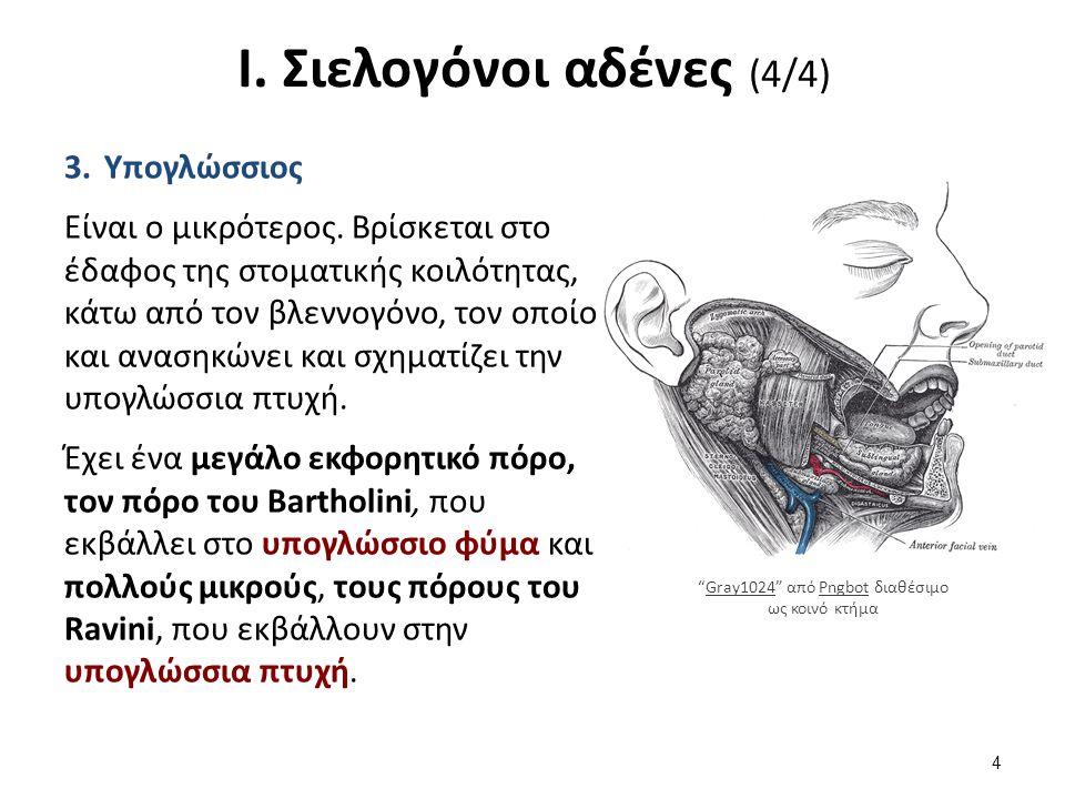 Ι. Σιελογόνοι αδένες (4/4) 3.Υπογλώσσιος Είναι ο μικρότερος. Βρίσκεται στο έδαφος της στοματικής κοιλότητας, κάτω από τον βλεννογόνο, τον οποίο και αν