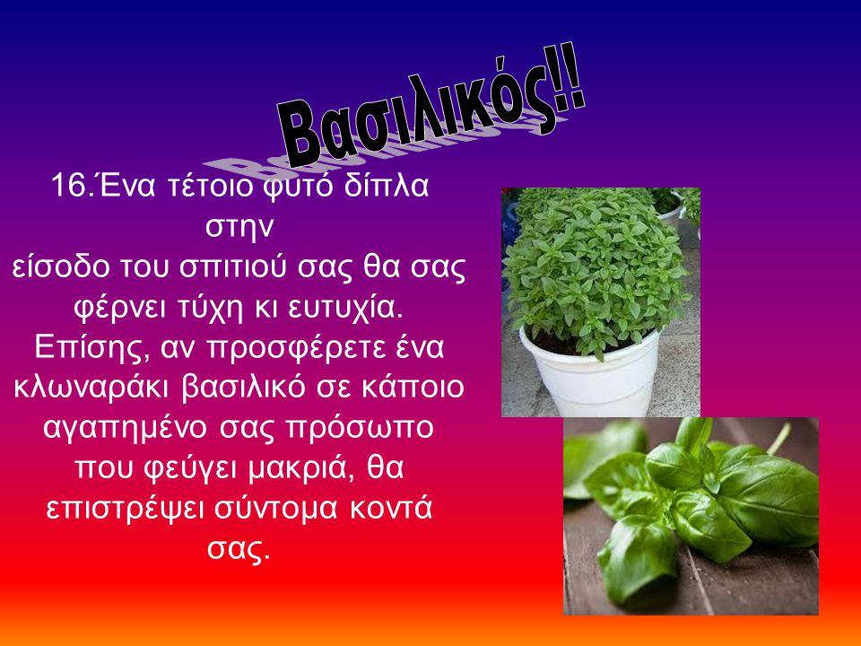 16.Ένα τέτοιο φυτό δίπλα στην είσοδο του σπιτιού σας θα σας φέρνει τύχη κι ευτυχία. Επίσης, αν προσφέρετε ένα κλωναράκι βασιλικό σε κάποιο αγαπημένο σ