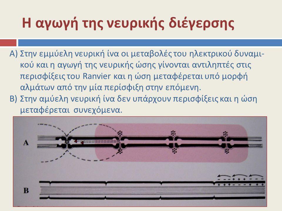 Η αγωγή της νευρικής διέγερσης A)Στην εμμύελη νευρική ίνα οι μεταβολές του ηλεκτρικού δυναμι- κού και η αγωγή της νευρικής ώσης γίνονται αντιληπτές στ