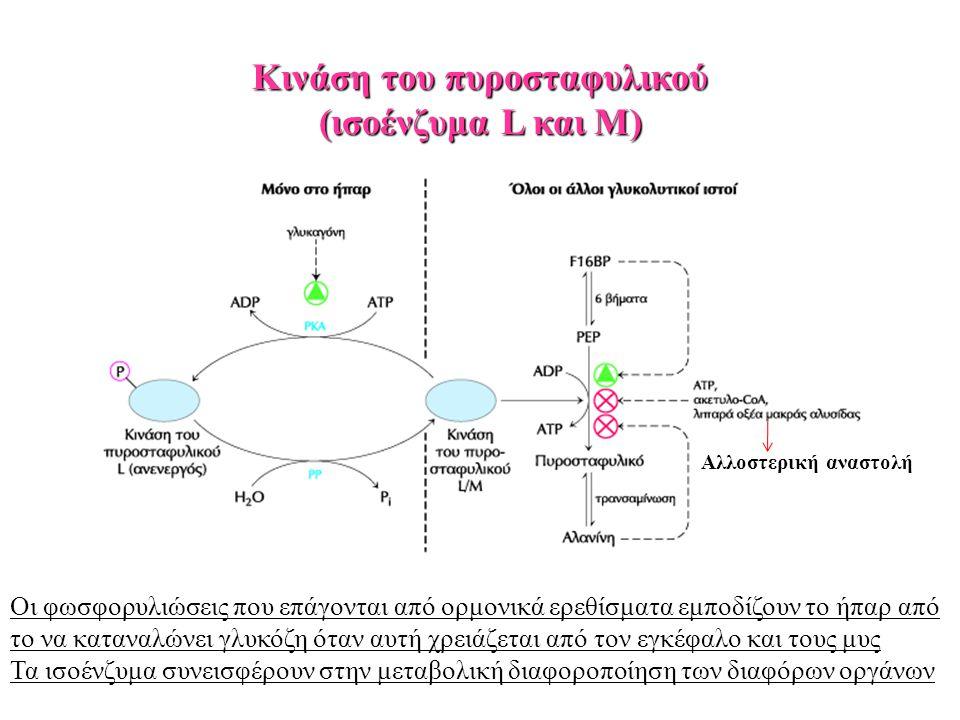 Κινάση του πυροσταφυλικού (ισοένζυμα L και Μ) Οι φωσφορυλιώσεις που επάγονται από ορμονικά ερεθίσματα εμποδίζουν το ήπαρ από το να καταναλώνει γλυκόζη