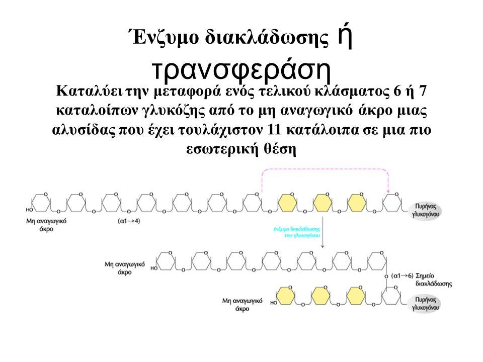 Ένζυμο διακλάδωσης ή τρανσφεράση Καταλύει την μεταφορά ενός τελικού κλάσματος 6 ή 7 καταλοίπων γλυκόζης από το μη αναγωγικό άκρο μιας αλυσίδας που έχε