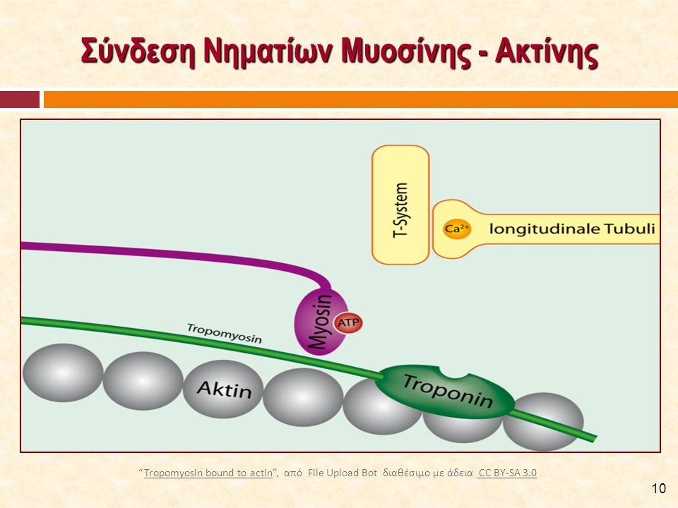 """Σύνδεση Νηματίων Μυοσίνης - Ακτίνης 10 """"Tropomyosin bound to actin"""", από File Upload Bot διαθέσιμο με άδεια CC BY-SA 3.0Tropomyosin bound to actin CC"""