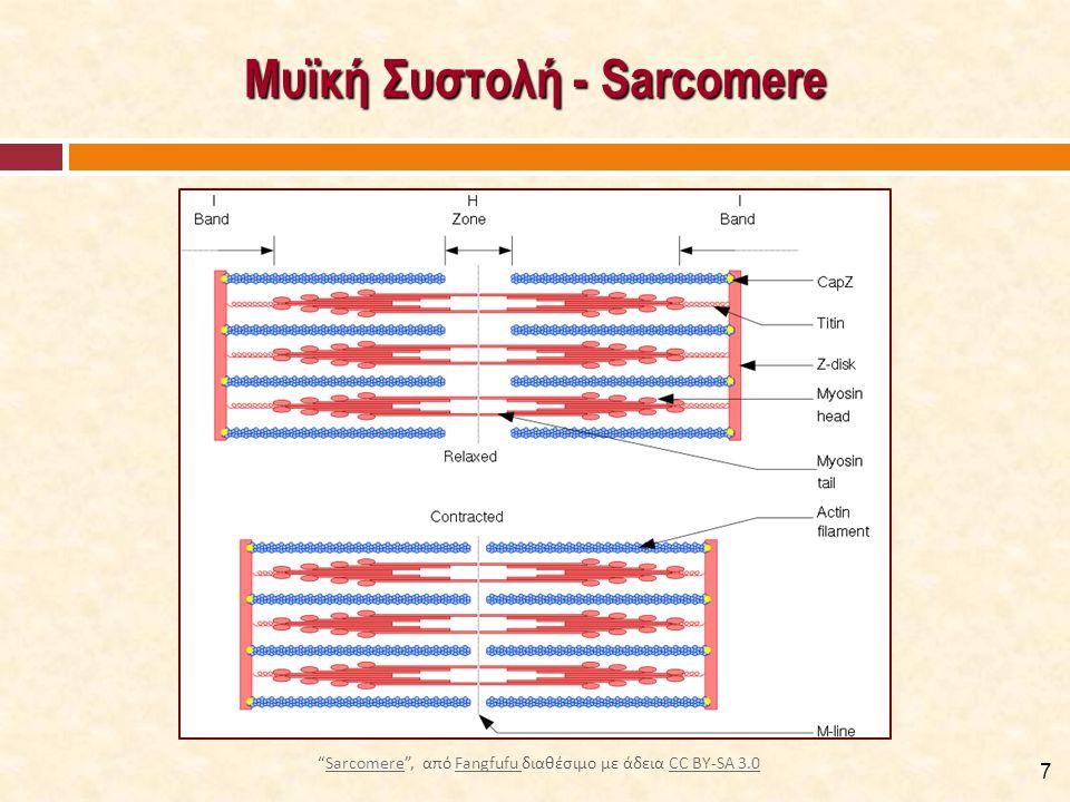 """Μυϊκή Συστολή - Sarcomere 7 """"Sarcomere"""", από Fangfufu διαθέσιμο με άδεια CC BY-SA 3.0SarcomereFangfufu CC BY-SA 3.0"""