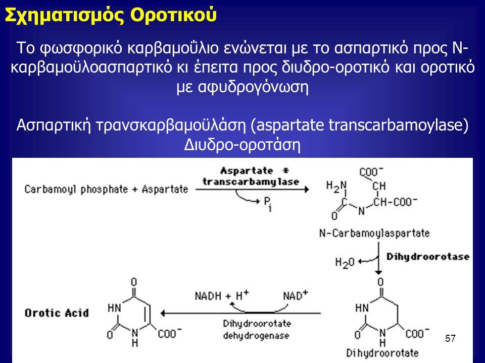 Το φωσφορικό καρβαμοΰλιο ενώνεται με το ασπαρτικό προς Ν- καρβαμοϋλοασπαρτικό κι έπειτα προς διυδρο-οροτικό και οροτικό με αφυδρογόνωση Ασπαρτική τραν