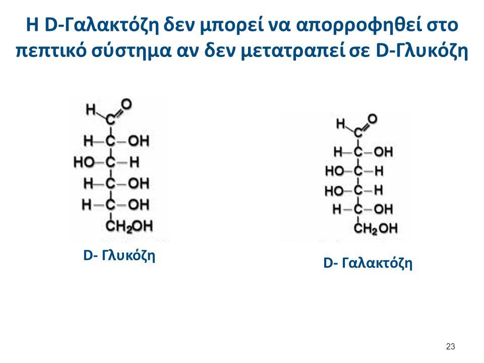 Η D-Γαλακτόζη δεν μπορεί να απορροφηθεί στο πεπτικό σύστημα αν δεν μετατραπεί σε D-Γλυκόζη D- Γλυκόζη D- Γαλακτόζη 23