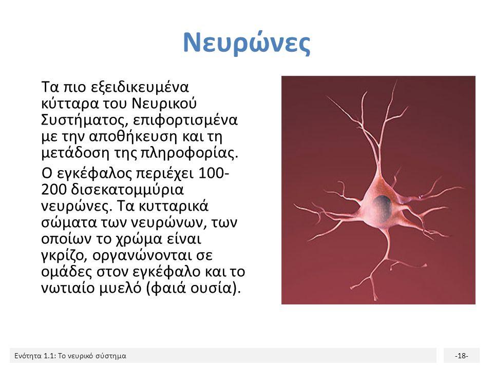 Ενότητα 1.1: Το νευρικό σύστημα-17- Γλοιακά κύτταρα: συμβάλλουν σημαντικά στην ανάπτυξη του νευρικού συστήματος και στη λειτουργία του εγκεφάλου. Ενώ