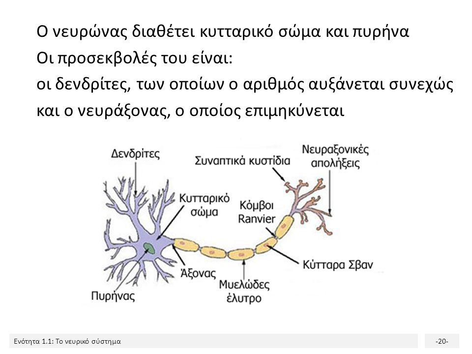 Ενότητα 1.1: Το νευρικό σύστημα-19- 200 δισεκατομμύρια νευρώνες Κατά τη γέννηση, το ΚΝΣ διαθέτει περίπου 200 δισεκατομμύρια νευρώνες. Λόγω της μεγάλης