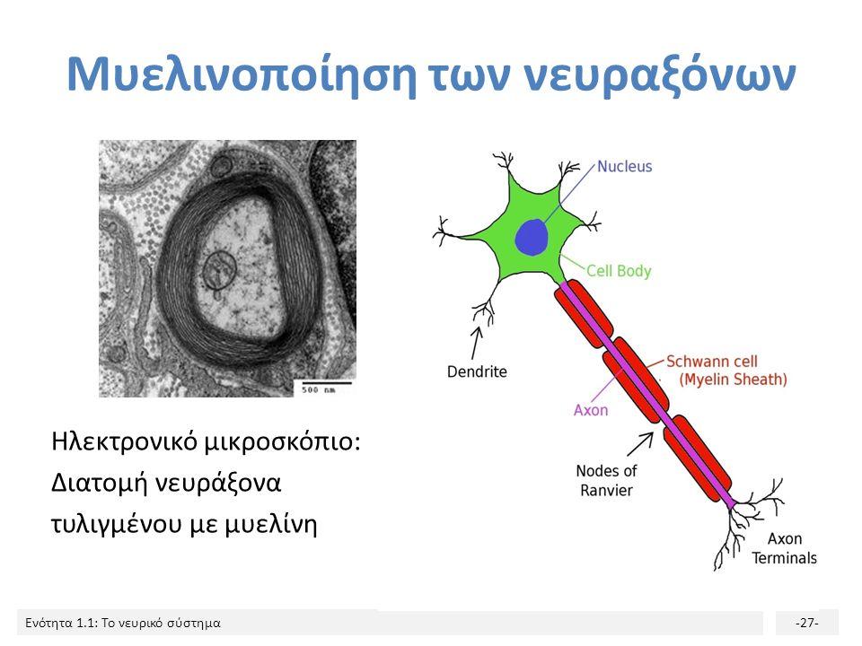 Ενότητα 1.1: Το νευρικό σύστημα-26- Mυελινοποίηση Κάλυψη των νευραξόνων από μια λιπαρή, μονωτική ουσία (μυελίνη), που εξασφαλίζει την επιτυχή μετάδοση