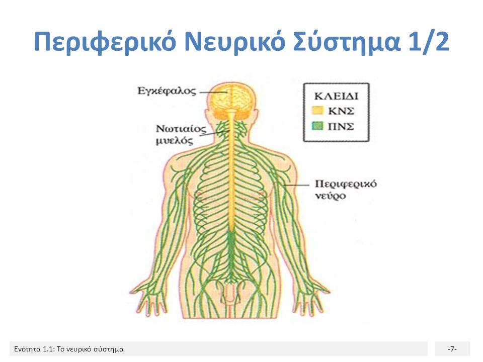 Ενότητα 1.1: Το νευρικό σύστημα-6- Τα νεύρα που εξέρχονται από το νωτιαίο μυελό και διακλαδίζονται σε όλο το σώμα αποτελούν το Περιφερικό Νευρικό Σύστ