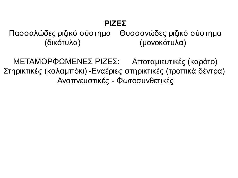 ΡΙΖΕΣ Πασσαλώδες ριζικό σύστημα Θυσσανώδες ριζικό σύστημα (δικότυλα) (μονοκότυλα) ΜΕΤΑΜΟΡΦΩΜΕΝΕΣ ΡΙΖΕΣ: Αποταμιευτικές (καρότο) Στηρικτικές (καλαμπόκι