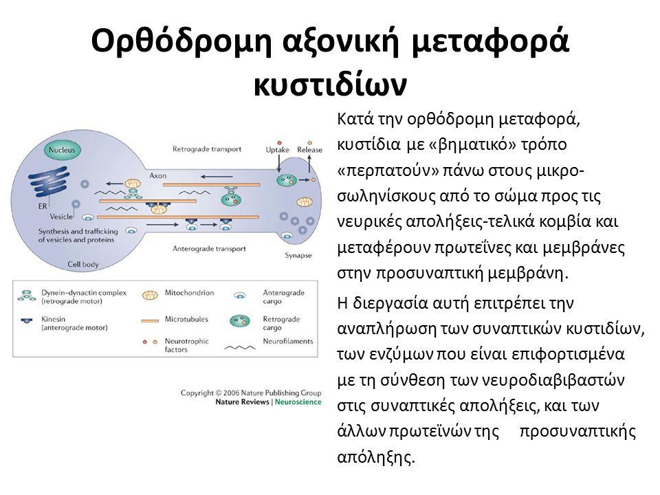 Ορθόδρομη αξονική μεταφορά κυστιδίων Κατά την ορθόδρομη μεταφορά, κυστίδια με «βηματικό» τρόπο «περπατούν» πάνω στους μικρο- σωληνίσκους από το σώμα π