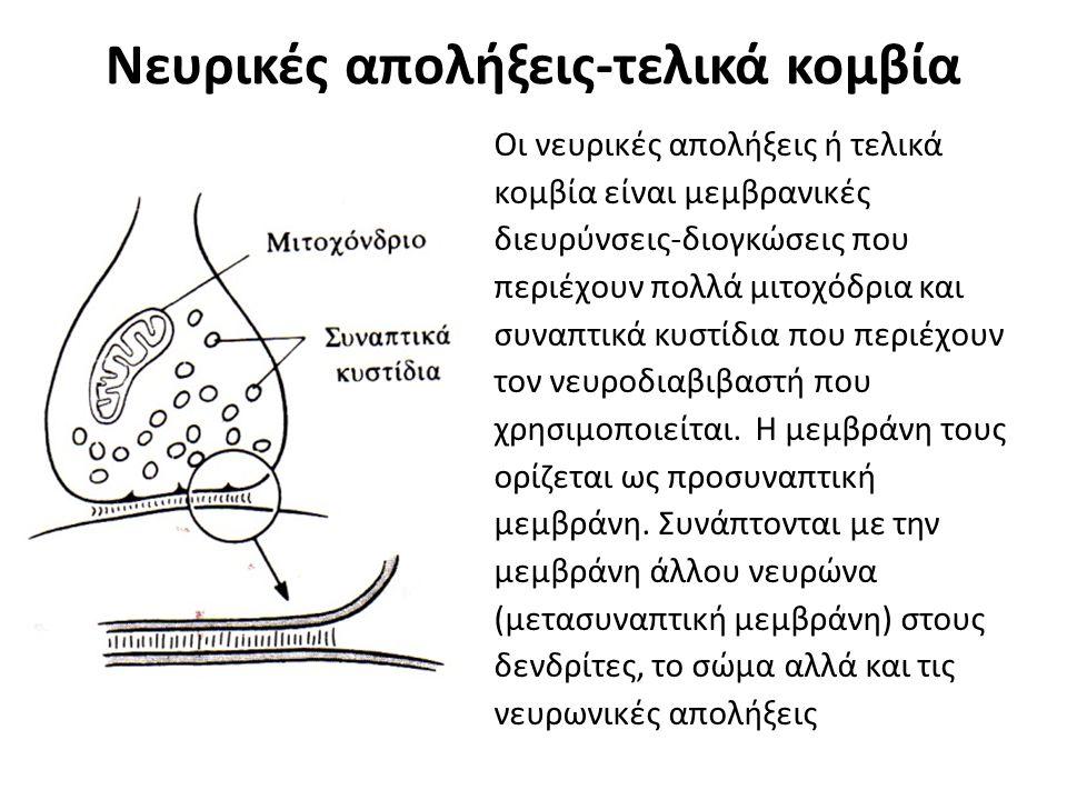 Νευρικές απολήξεις-τελικά κομβία Οι νευρικές απολήξεις ή τελικά κομβία είναι μεμβρανικές διευρύνσεις-διογκώσεις που περιέχουν πολλά μιτοχόδρια και συν