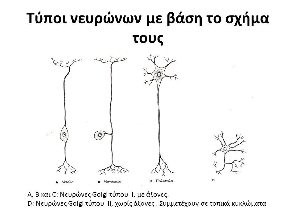 Τύποι νευρώνων με βάση το σχήμα τους Α, Β και C: Νευρώνες Golgi τύπου I, με άξονες. D: Νευρώνες Golgi τύπου II, χωρίς άξονες. Συμμετέχουν σε τοπικά κυ