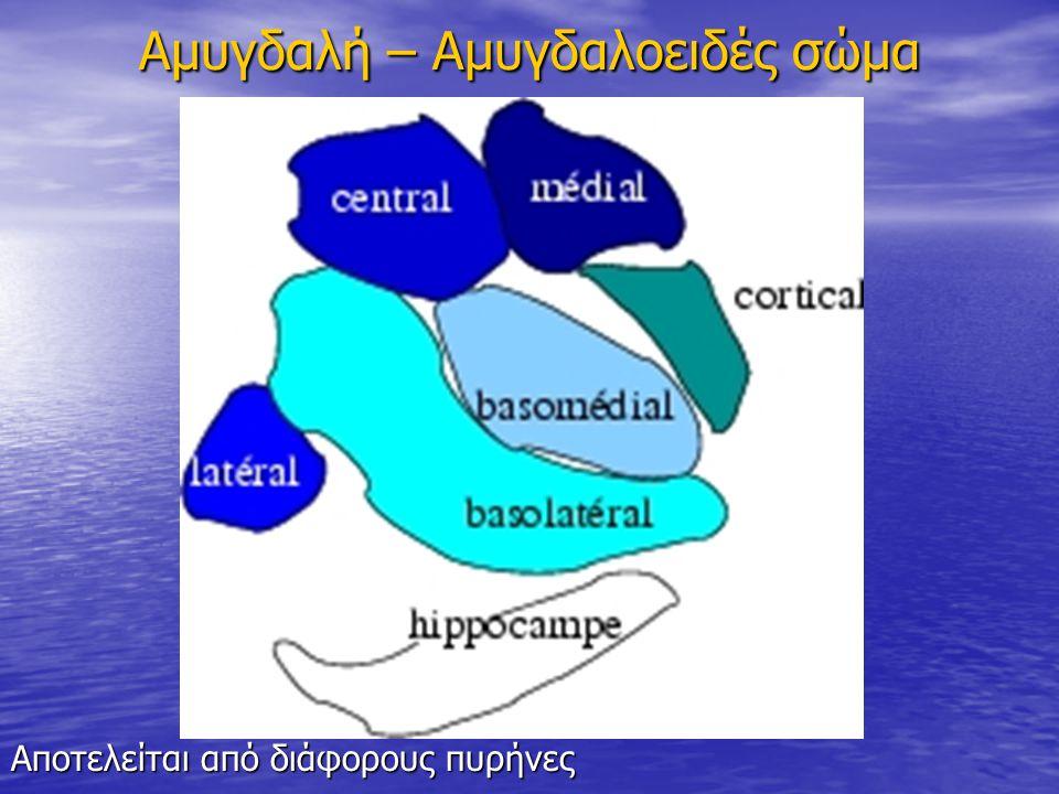 Αμυγδαλή – Αμυγδαλοειδές σώμα Αποτελείται από διάφορους πυρήνες