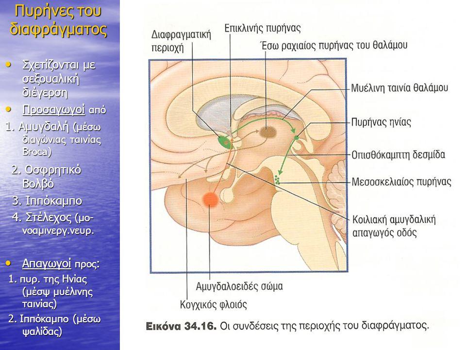 Πυρήνες του διαφράγματος Σχετίζονται με σεξουαλική διέγερση Σχετίζονται με σεξουαλική διέγερση Προσαγωγοί από Προσαγωγοί από 1. Αμυγδαλή (μέσω διαγώνι