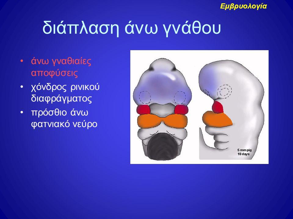 διάπλαση άνω γνάθου άνω γναθιαίες αποφύσεις χόνδρος ρινικού διαφράγματος πρόσθιο άνω φατνιακό νεύρο Εμβρυολογία