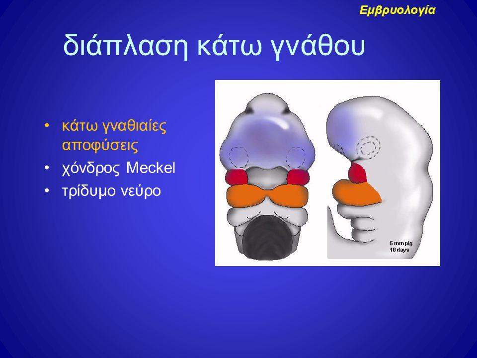 διάπλαση κάτω γνάθου κάτω γναθιαίες αποφύσεις χόνδρος Meckel τρίδυμο νεύρο Εμβρυολογία