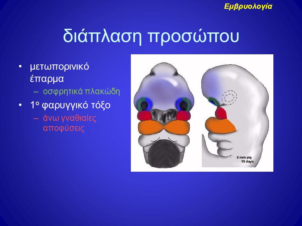 μετωπορινικό έπαρμα –οσφρητικά πλακώδη 1 ο φαρυγγικό τόξο –άνω γναθιαίες αποφύσεις διάπλαση προσώπου Εμβρυολογία