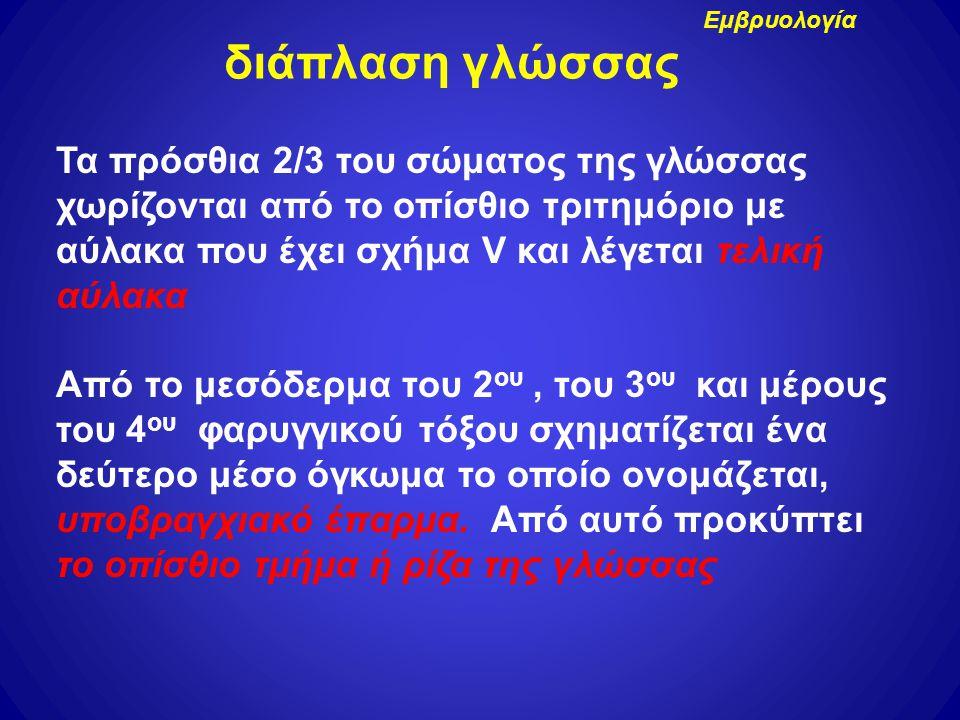 Τα πρόσθια 2/3 του σώματος της γλώσσας χωρίζονται από το οπίσθιο τριτημόριο με αύλακα που έχει σχήμα V και λέγεται τελική αύλακα Από το μεσόδερμα του