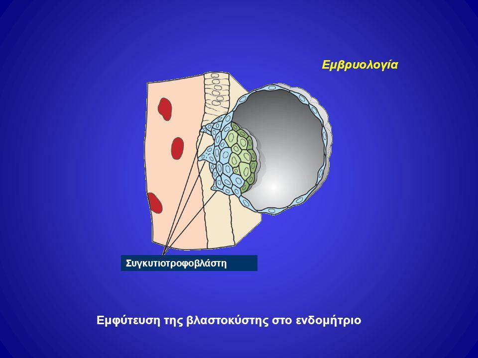 Συγκυτιοτροφοβλάστη Εμφύτευση της βλαστοκύστης στο ενδομήτριο Εμβρυολογία
