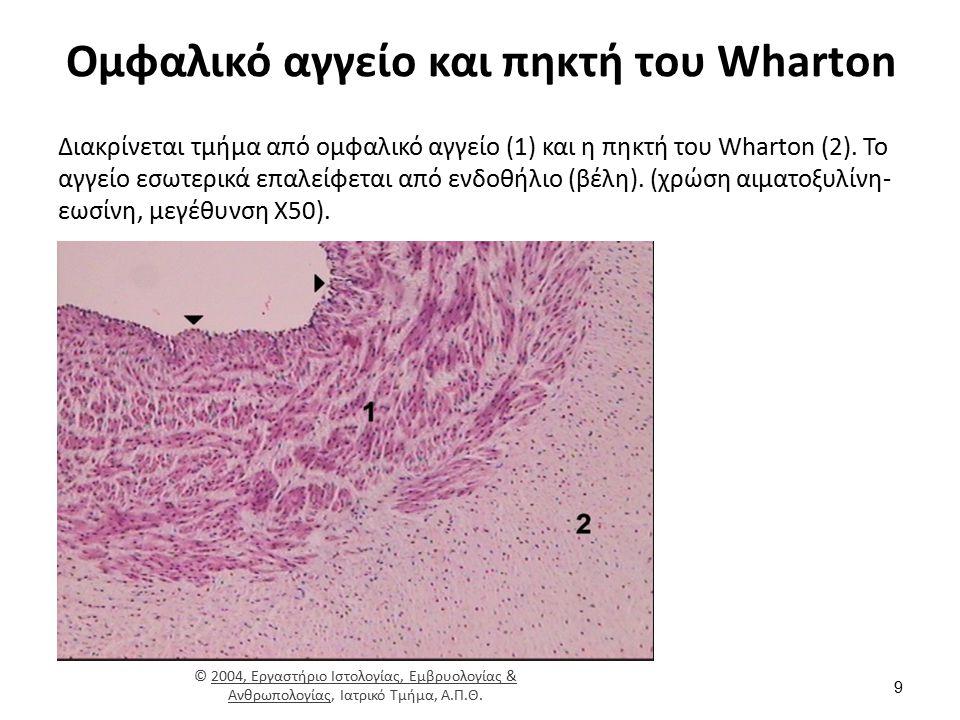 Ομφαλικό αγγείο και πηκτή του Wharton Διακρίνεται τμήμα από ομφαλικό αγγείο (1) και η πηκτή του Wharton (2). Το αγγείο εσωτερικά επαλείφεται από ενδοθ