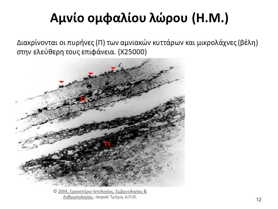 Αμνίο ομφαλίου λώρου (Η.Μ.) Διακρίνονται οι πυρήνες (Π) των αμνιακών κυττάρων και μικρολάχνες (βέλη) στην ελεύθερη τους επιφάνεια. (Χ25000) © 2004, Ερ
