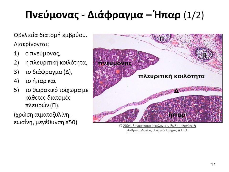 Πνεύμονας - Διάφραγμα – Ήπαρ (1/2) Οβελιαία διατομή εμβρύου. Διακρίνονται: 1)ο πνεύμονας, 2)η πλευριτική κοιλότητα, 3)το διάφραγμα (Δ), 4)το ήπαρ και