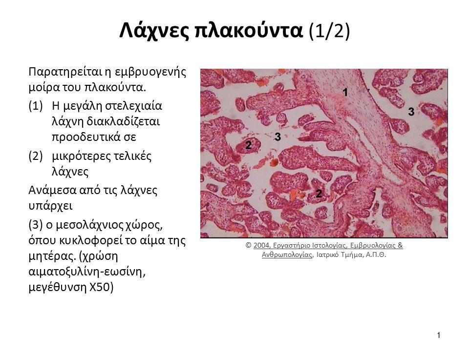 Λάχνες πλακούντα (1/2) Παρατηρείται η εμβρυογενής μοίρα του πλακούντα. (1)Η μεγάλη στελεχιαία λάχνη διακλαδίζεται προοδευτικά σε (2)μικρότερες τελικές