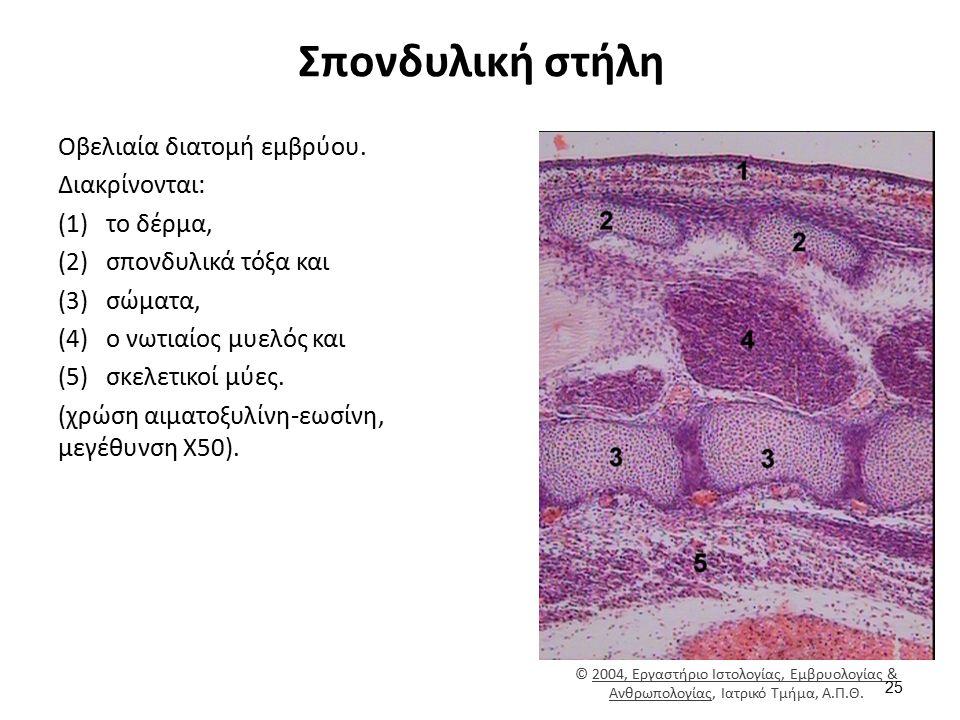 Σπονδυλική στήλη Οβελιαία διατομή εμβρύου. Διακρίνονται: (1)το δέρμα, (2)σπονδυλικά τόξα και (3)σώματα, (4)ο νωτιαίος μυελός και (5)σκελετικοί μύες. (