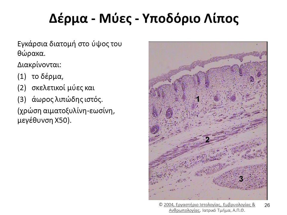 Δέρμα - Μύες - Υποδόριο Λίπος Εγκάρσια διατομή στο ύψος του θώρακα. Διακρίνονται: (1)το δέρμα, (2)σκελετικοί μύες και (3)άωρος λιπώδης ιστός. (χρώση α