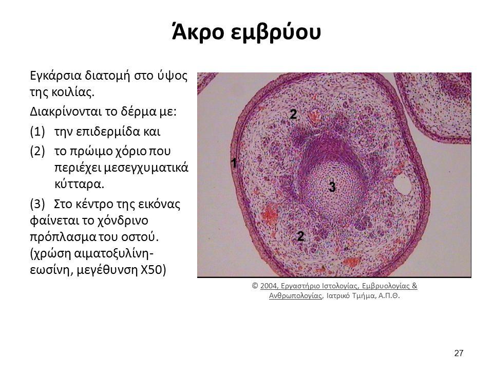 Άκρο εμβρύου Εγκάρσια διατομή στο ύψος της κοιλίας. Διακρίνονται το δέρμα με: (1)την επιδερμίδα και (2)το πρώιμο χόριο που περιέχει μεσεγχυματικά κύττ