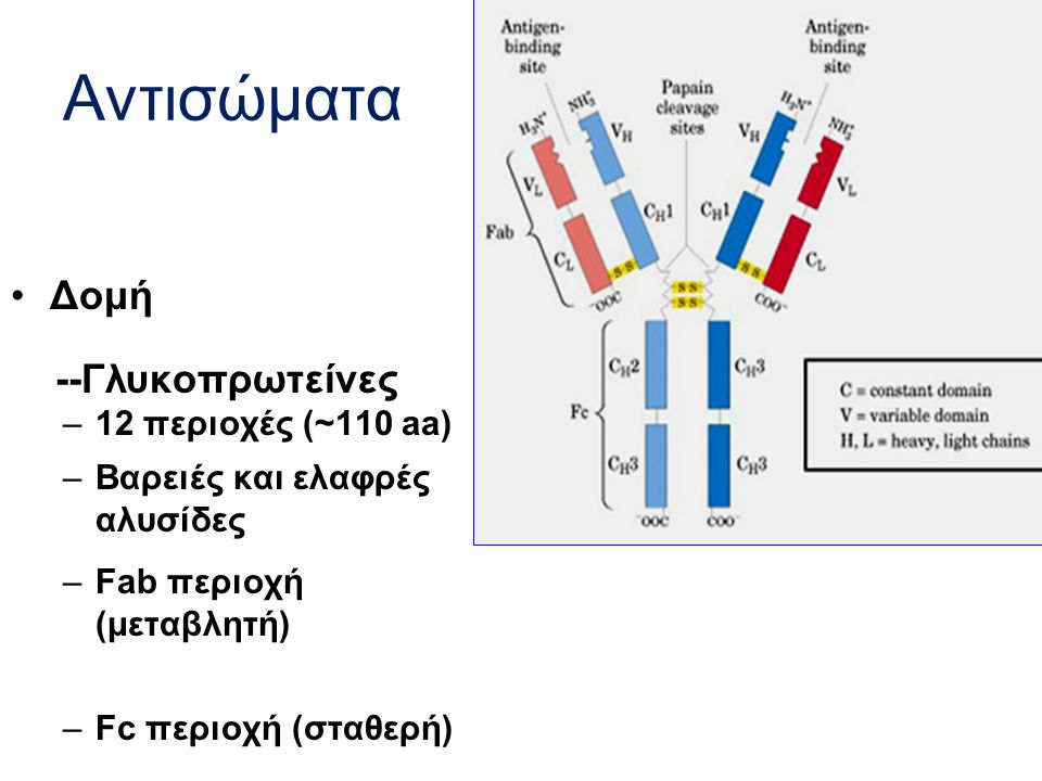 Αντισώματα Δομή --Γλυκοπρωτείνες –12 περιοχές (~110 aa) –Βαρειές και ελαφρές αλυσίδες –Fab περιοχή (μεταβλητή) –Fc περιοχή (σταθερή)