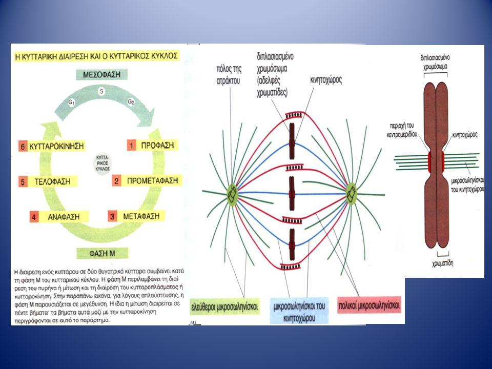 Μεσόφαση (G1, S, G2) Τα κύτταρα αυξάνονται και διπλασιάζουν το γενετικό τους υλικό Μίτωση: Διαχωρισμός του διπλασιασμένου γενετικού υλικού στα δύο θυγατρικά κύτταρα.
