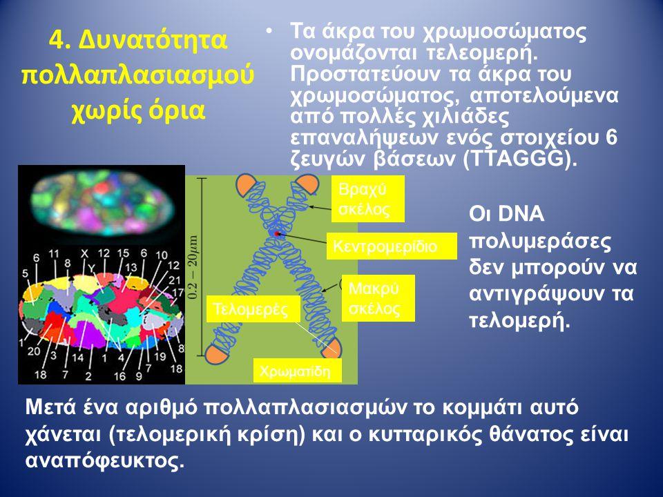 4. Δυνατότητα πολλαπλασιασμού χωρίς όρια Τα άκρα του χρωμοσώματος ονομάζονται τελεομερή. Προστατεύουν τα άκρα του χρωμοσώματος, αποτελούμενα από πολλέ