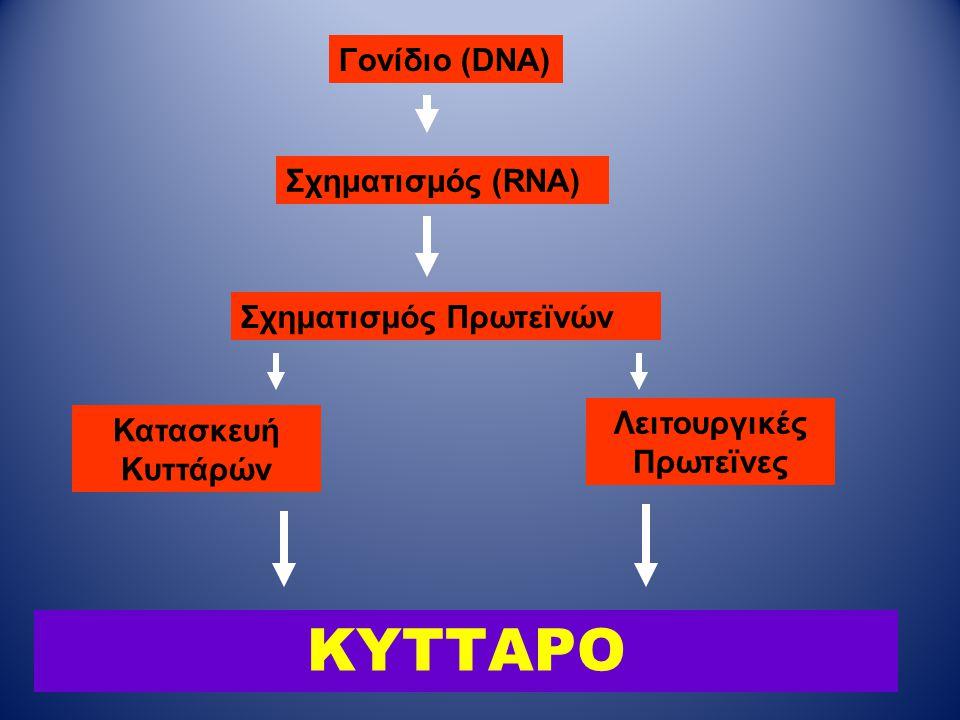 ΚΥΤΤΑΡΟ Γονίδιο (DNA) Σχηματισμός (RNA) Σχηματισμός Πρωτεϊνών Κατασκευή Κυττάρών Λειτουργικές Πρωτεϊνες